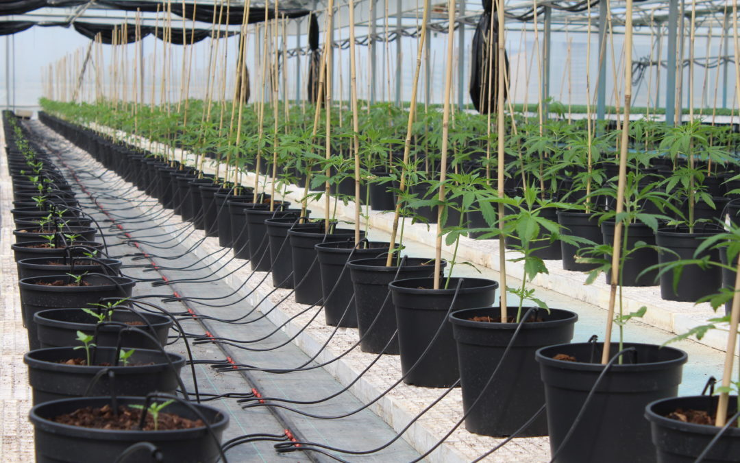 Enectarol and CarmaEnecta, a variety of seeds developed by Enecta, have been officially included in the Colorado Genetics Registry